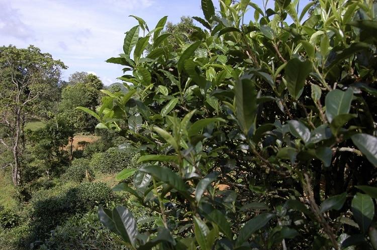 Дерево пуэр