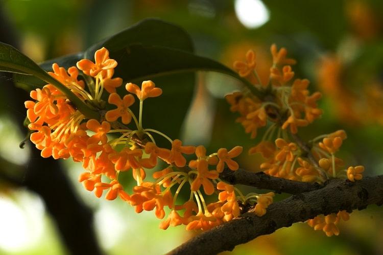 Растение османтус