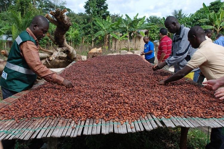 Добыча какао